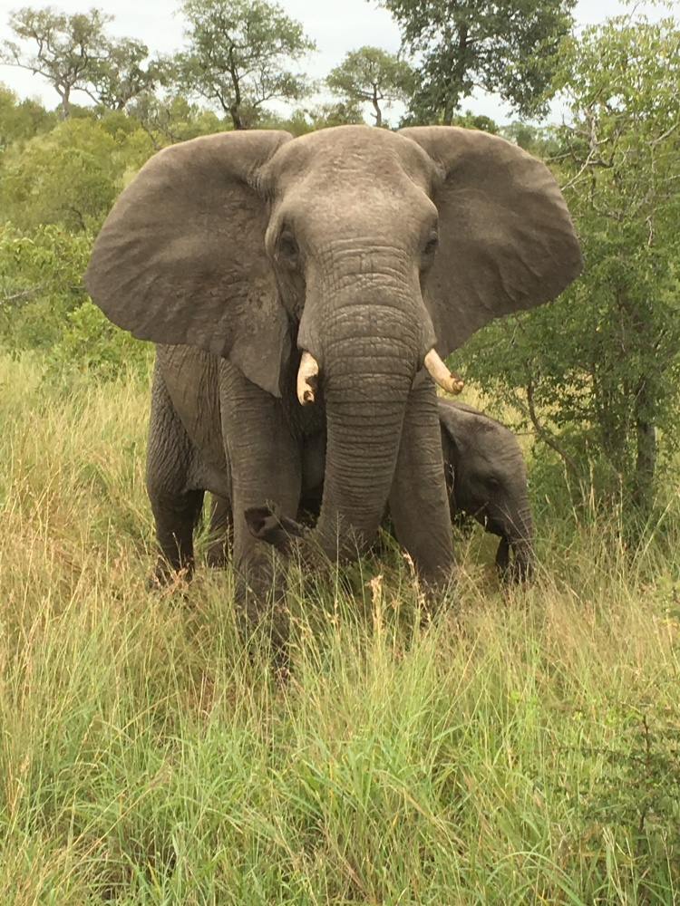 Safari Sabi sands elephants